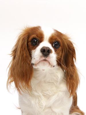 エムドッグス,動物プロダクション,ペットモデル,ペットタレント,モデル犬,タレント犬,キャバリアキングチャールズスパニエル,コニー