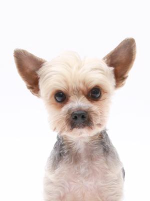 エムドッグス,動物プロダクション,ペットモデル,ペットタレント,モデル犬,タレント犬,ヨークシャーテリア,にこ
