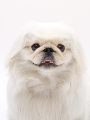 エムドッグス,動物プロダクション,ペットモデル,ペットタレント,モデル犬,タレント犬,ペキニーズ,ぺた