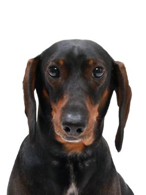 エムドッグス,動物プロダクション,ペットモデル,ペットタレント,モデル犬,タレント犬,スタンダードダックスフンド,バスター
