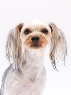 エムドッグス,動物プロダクション,ペットモデル,ペットタレント,モデル犬,タレント犬,ヨークシャーテリア,ルディー