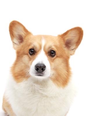 エムドッグス,動物プロダクション,ペットモデル,ペットタレント,モデル犬,タレント犬,ウェルッシュコーギー,ハル