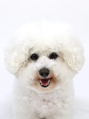 エムドッグス,動物プロダクション,ペットモデル,ペットタレント,モデル犬,タレント犬,ビションフリーゼ,YOKWE(ヤッコエ)