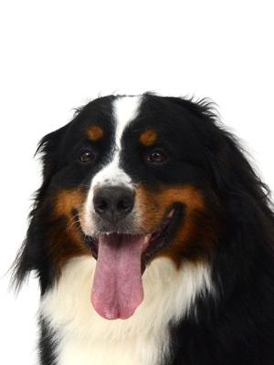エムドッグス,動物プロダクション,ペットモデル,ペットタレント,モデル犬,タレント犬,バーニーズマウンテンドッグ,七波,なな