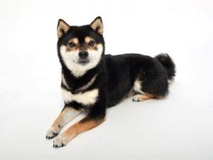 エムドッグス,動物プロダクション,ペットモデル,ペットタレント,モデル犬,タレント犬,柴犬,あおば