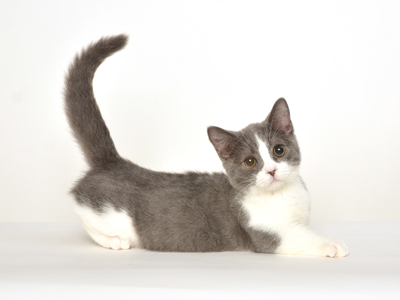 ペットモデル,動物プロダクション,エムドッグス、タレント猫,モデル猫,スコティッシュフォールド,たわし