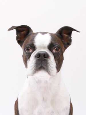 エムドッグス,動物プロダクション,ペットモデル,ペットタレント,モデル犬,タレント犬,ボストンテリア,銀次