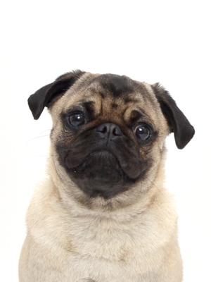 エムドッグス,動物プロダクション,ペットモデル,ペットタレント,モデル犬,タレント犬,パグ,たろう