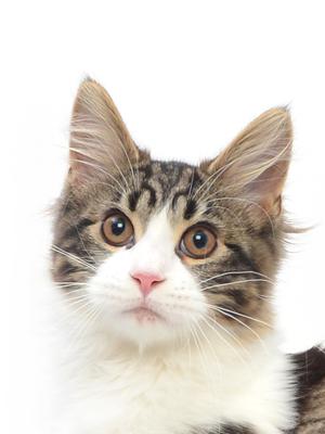 エムドッグス,動物プロダクション,ペットモデル,ペットタレント,モデル猫,タレント猫,メインクーン,くぅ