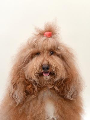 エムドッグス,動物プロダクション,ペットモデル,ペットタレント,モデル犬,タレント犬,ミディアムプードル,あーまー