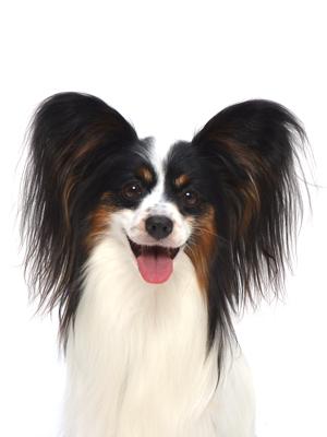 エムドッグス,動物プロダクション,ペットモデル,ペットタレント,モデル犬,タレント犬,パピヨン,JOY