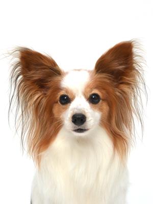 エムドッグス,動物プロダクション,ペットモデル,ペットタレント,モデル犬,タレント犬,パピヨン,あかね