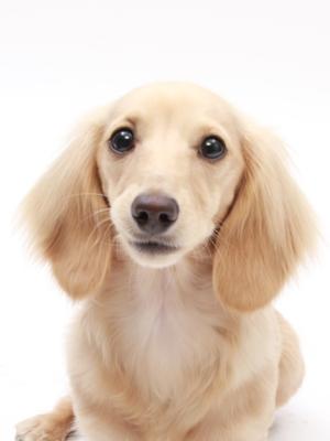 エムドッグス,動物プロダクション,ペットモデル,ペットタレント,モデル犬,タレント犬,カニンヘンダックスフンド,モア