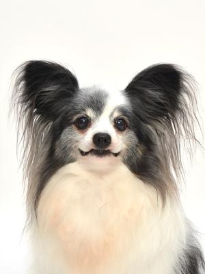 エムドッグス,動物プロダクション,ペットモデル,ペットタレント,モデル犬,タレント犬,パピヨン,パンダ