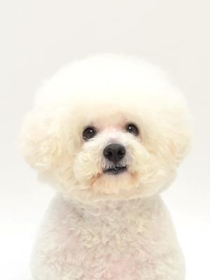 エムドッグス,動物プロダクション,ペットモデル,ペットタレント,モデル犬,タレント犬,ビションフリーゼ,こっとん