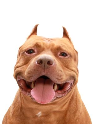 エムドッグス,動物プロダクション,ペットモデル,ペットタレント,モデル犬,タレント犬,アメリカンピットブルテリア,DOPE(ドープ)