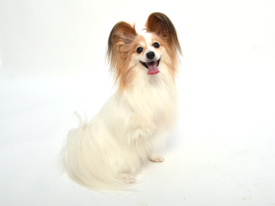 エムドッグス,動物プロダクション,ペットモデル,ペットタレント,モデル犬,タレント犬,パピヨン,歩夢