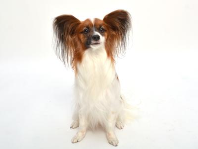 エムドッグス,動物プロダクション,ペットモデル,ペットタレント,モデル犬,タレント犬,パピヨン,茶々丸