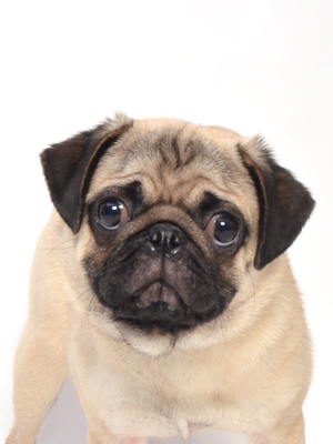 エムドッグス,動物プロダクション,ペットモデル,ペットタレント,モデル犬,タレント犬,パグ,モコ