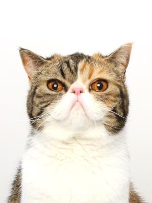 エムドッグス,動物プロダクション,ペットモデル,ペットタレント,モデル猫,タレント猫,エキゾチックショートヘア,うに