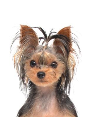 エムドッグス,動物プロダクション,ペットモデル,ペットタレント,モデル犬,タレント犬,ヨークシャーテリア,ラテ