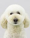 エムドッグス,ペットモデル,動物プロダクション,モデル犬,スタンダードプードル,ルーシー