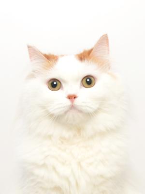エムドッグス,動物プロダクション,ペットモデル,ペットタレント,モデル猫,タレント猫,マンチカン,まっちー