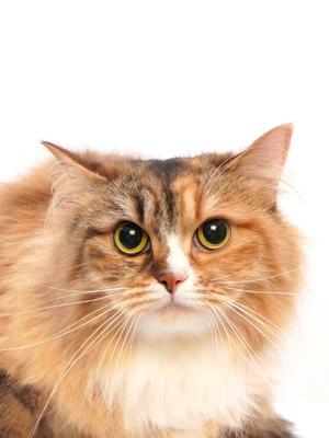 エムドッグス,動物プロダクション,ペットモデル,ペットタレント,モデル猫,タレント猫,MIX,ポッポ