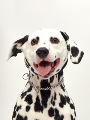 エムドッグス,動物プロダクション,ペットモデル,ペットタレント,モデル犬,タレント犬,ダルメシアン,ジャスパー