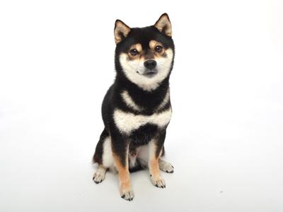エムドッグス,ペットモデル,動物プロダクション,タレント犬,柴犬,あおば