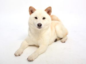 エムドッグス,動物プロダクション,ペットモデル,ペットタレント,モデル犬,タレント犬,柴犬,しろこ