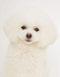 エムドッグス,動物プロダクション,ペットモデル,ペットタレント,モデル犬,タレント犬,トイプードル,マチルダ