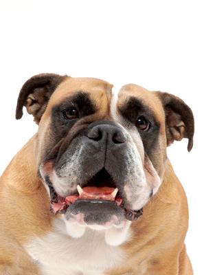 エムドッグス,動物プロダクション,ペットモデル,ペットタレント,モデル犬,タレント犬,イングリッシュブルドッグ,オクチャ