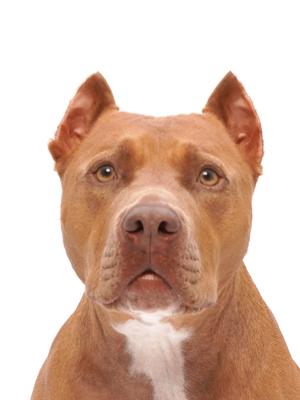 エムドッグス,動物プロダクション,ペットモデル,ペットタレント,モデル犬,タレント犬,アメリカンピットブルテリア,マンネ