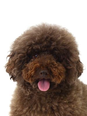 エムドッグス,動物プロダクション,ペットモデル,ペットタレント,モデル犬,タレント犬,トイプードル,甜,てん