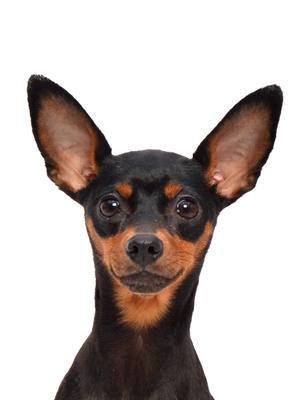 エムドッグス,動物プロダクション,ペットモデル,ペットタレント,モデル犬,タレント犬,ミニチュアピンシャー,プレンティス