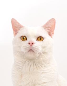 エムドッグス,ペットモデル,動物プロダクション,モデル猫,タレント猫,アメリカンショートヘア,大福