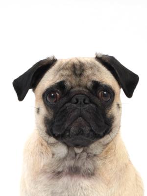 エムドッグス,動物プロダクション,ペットモデル,ペットタレント,モデル犬,タレント犬,パグ,どりる