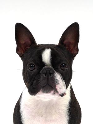 エムドッグス,動物プロダクション,ペットモデル,ペットタレント,モデル犬,タレント犬,ボストンテリア,ナイト