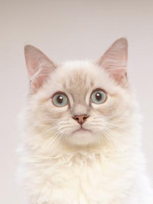 エムドッグス,動物プロダクション,ペットモデル,ペットタレント,モデル猫,タレント猫,ラグドール,ユリス