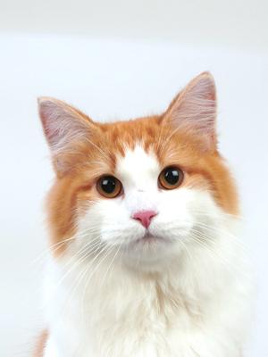 エムドッグス,動物プロダクション,ペットモデル,ペットタレント,モデル猫,タレント猫,ノルウェージャンフォレストキャット,空