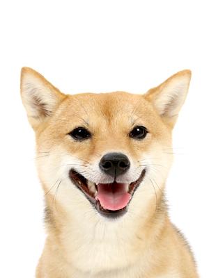 エムドッグス,動物プロダクション,ペットモデル,ペットタレント,モデル犬,タレント犬,柴犬,信乃(しの)