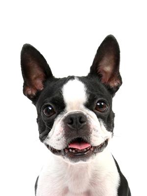 エムドッグス,動物プロダクション,ペットモデル,ペットタレント,モデル犬,タレント犬,ボストンテリア,はなび