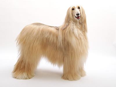 エムドッグス,動物プロダクション,ペットモデル,ペットタレント,モデル犬,タレント犬,アフガンハウンド,ハート