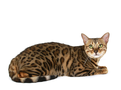 エムドッグス,動物プロダクション,ペットモデル,ペットタレント,モデル猫,タレント猫,ベンガル,プリン