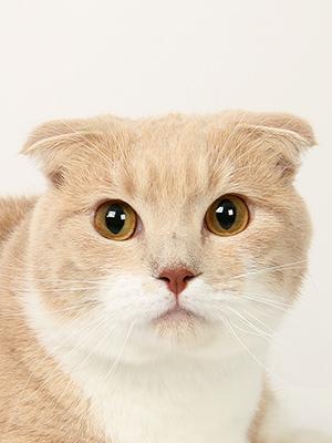エムドッグス,動物プロダクション,ペットモデル,ペットタレント,モデル猫,タレント猫,マンチカン,ツナ