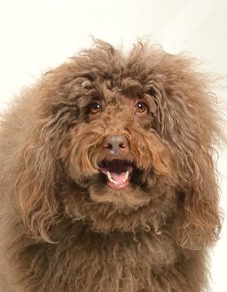 エムドッグス,動物プロダクション,ペットモデル,モデル犬,オーストラリアンラブラドゥードル,ジェシー