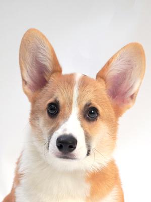 エムドッグス,動物プロダクション,ペットモデル,ペットタレント,モデル犬,タレント犬,ウェルシュコーギー,りおん