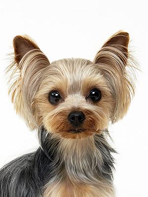 エムドッグス,動物プロダクション,ペットモデル,ペットタレント,モデル犬,タレント犬,ヨークシャーテリア,アモ