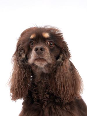 エムドッグス,動物プロダクション,ペットモデル,ペットタレント,モデル犬,タレント犬,アメリカンコッカースパニエル,アグル